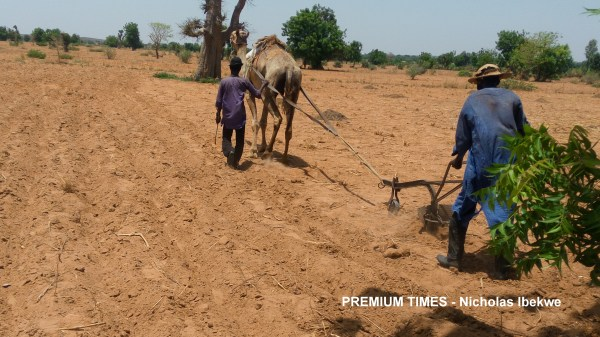 Camel pulling a plough in Jega