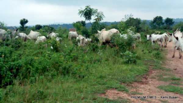 Cattle graving on a portion of the expanse