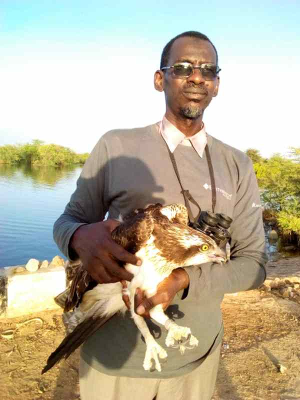 A conservationist, Muhammad Ibrahim with the trapped Osprey migratory bird about to release on Thursday 1st November at Baturiya wetlands reserve area Jigawa State [Photo
