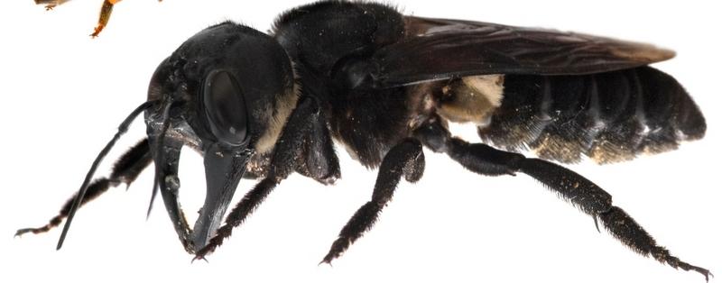 Wallace's Giant Bee (Photo Credit: Aljazeera)