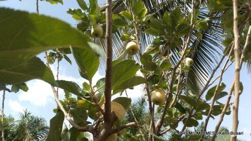 Apple fruits on a tree