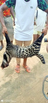 The African civet being displayed after it was killed by some young men3
