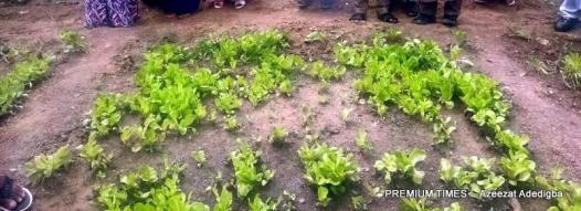 The vegetables planted by the SBMC committee to generate income for the school.