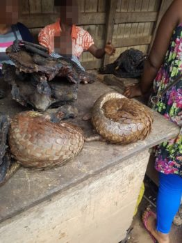 Live pangolins sold at a bushmeat market in Cameroon. Credit: Paul Anu / Green Echoes