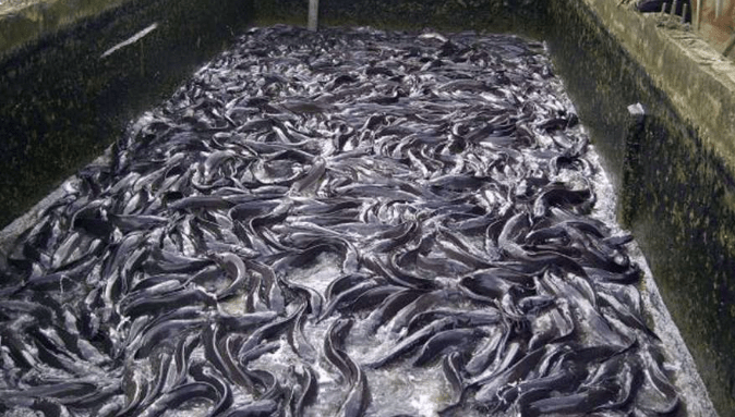 Fish Farm used to tell the story