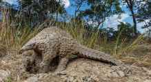Pangolin [PHOTO: National Geographic]