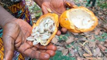 A farmer displays freshly harvested cocoa bean.