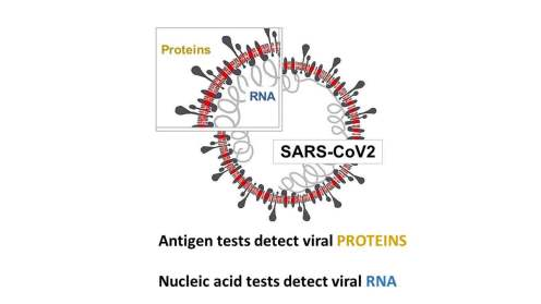 SARS-CoV2 graphic. Bob Goldstein/Wiki Commons