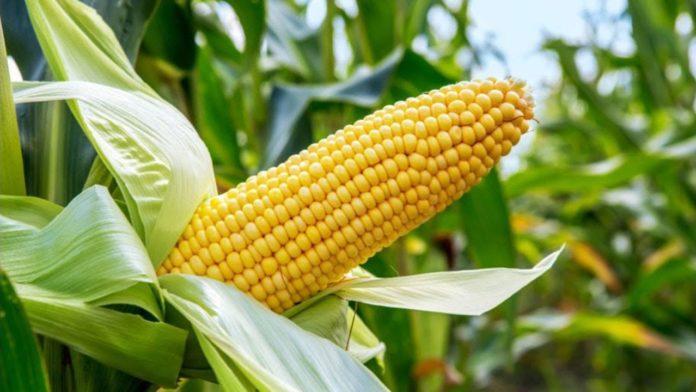 A Maize Farm [PHOTO CREDIT: AgroNewsNigeria]