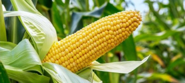 A Maize Farm [PHOTO CREDIT: AgroNewsNigeria]