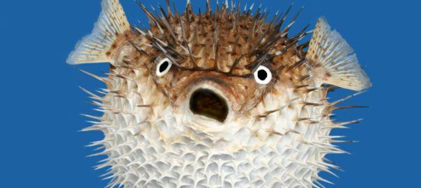Pufferfish [PHOTO: New Atlas]