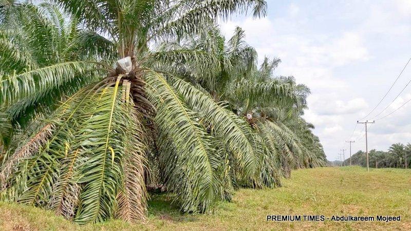 Oil palm plantation at NIFOR
