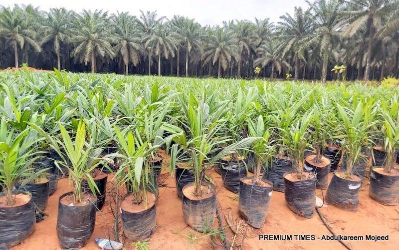 Oil palm seedlings at Presco plc