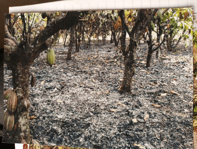 Burnt cocoa farm, allegedly, in the night of January 7, 2019, by herders, as retaliation for denying them grazing access. The farm is said to be five hectares and belonging to Gbenga Oketoyan of Aromaye Compound, Igangan. Source: Taiwo Adeagbo