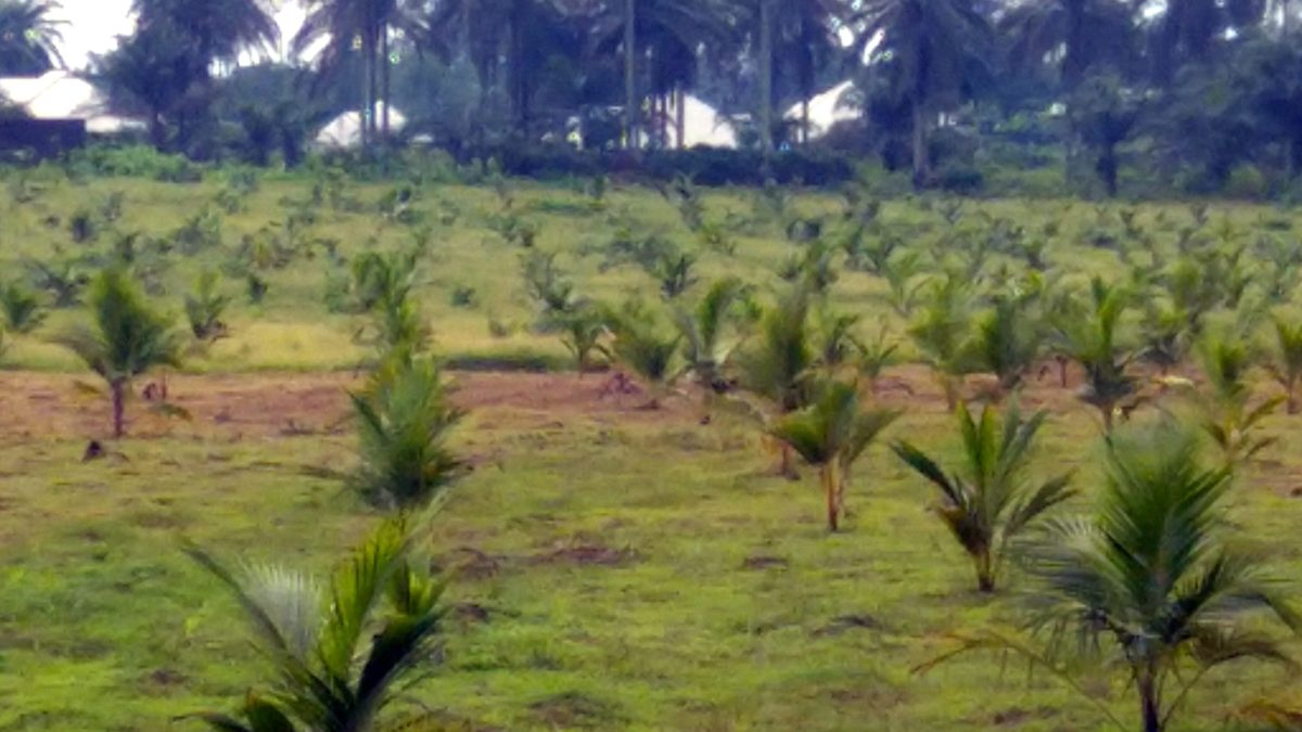AKADEP farm, formerly use for planting cassava now used as coconut plantation