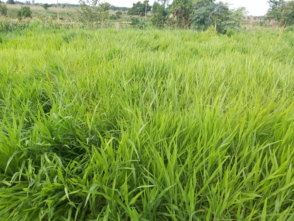Ruzi grass, planted at NFGCS farm at Ga'ate community in Nasarawa state.