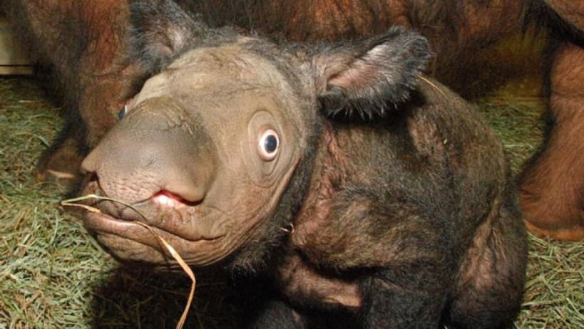 A new effort is underway to save the Sumatran rhino
