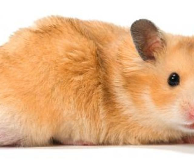 Which Hamster Is The Right One For Me