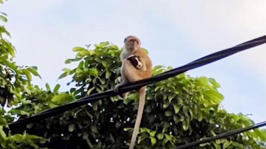 O maimuță a răpit un pui de câine, în Malaezia
