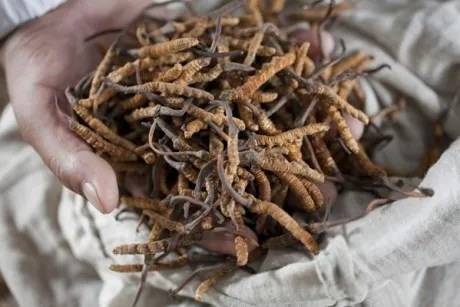 Yarsagumba, il Viagra dell'Himalaya