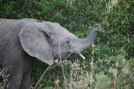 Weird news: Elephant dung coffee fetches $50 a cup