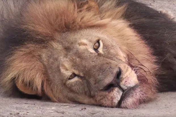 The dentist who reportedly killed Cecil the lion is getting absolutely destroyed on Yelp