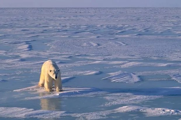Bad news for polar bears: Why the endangered species may not be able to adapt to a warming Arctic, after all