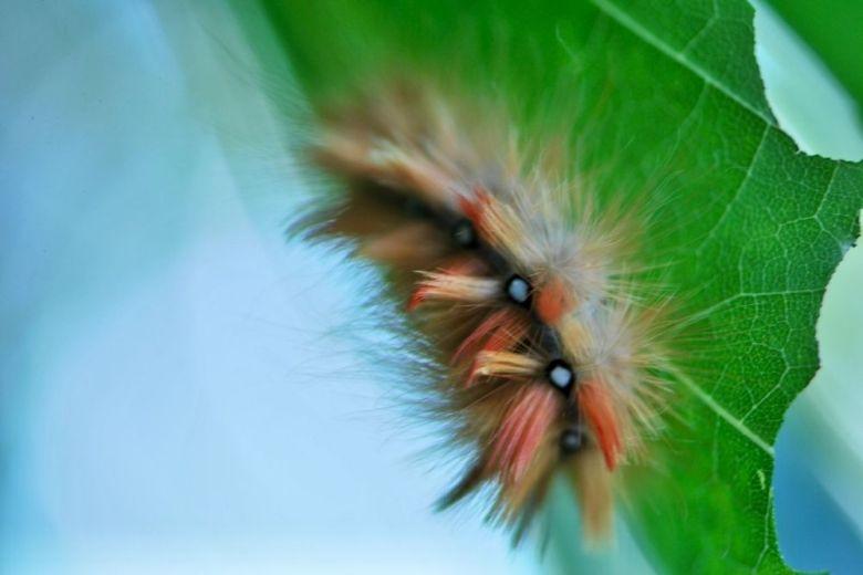 fjäril larv lönnaftonfly