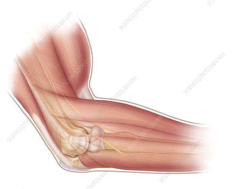 Elbow Anatomy - Stock Image - C003/4725 - Science Photo ...