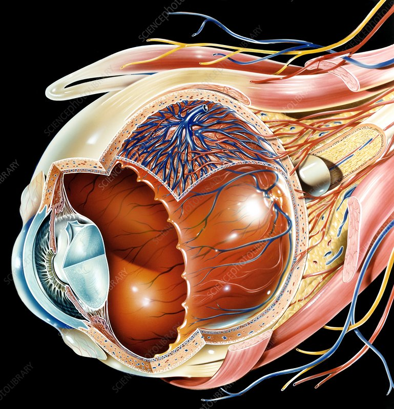 Eye anatomy, artwork - Stock Image - C016/8742 - Science ...