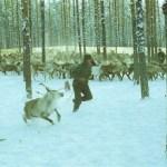 Georg på väg ut med en kalv, barnbarnen Terese Wikberg och Mia Backman (i gult) jagar på.