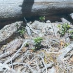 Härd 2 Brände. Terräng: Hedland. Beskrivning: Trolig härd, vid sondning sot och rödbränd sand.