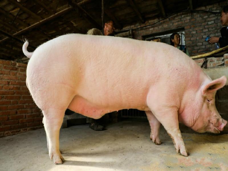 內地豬肉價格狂漲 農家出奇招養出500公斤「巨無霸大豬」 | 多倫多 | 加拿大中文新聞網 - 加拿大星島日報 Canada ...