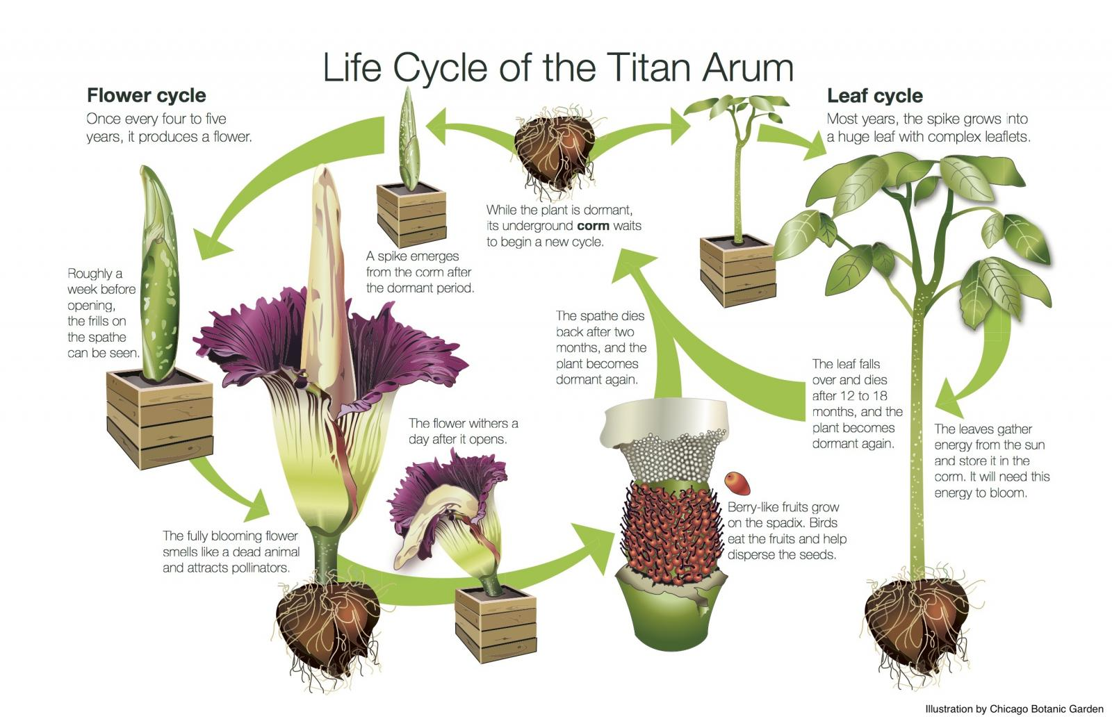 There S Another Corpse Flower Ready To Stink At The