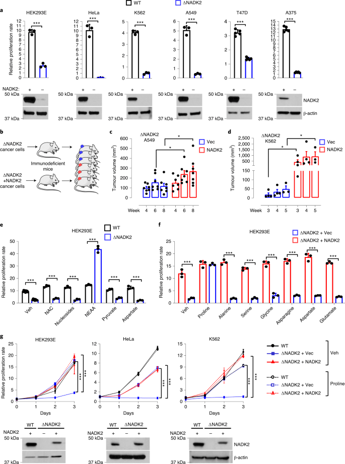 Mitochondrial NADP + is essential for proline biosynthesis during cell growth | Nature Metabolism