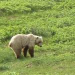 Bajsande grizzlybjörn. Denali National Park