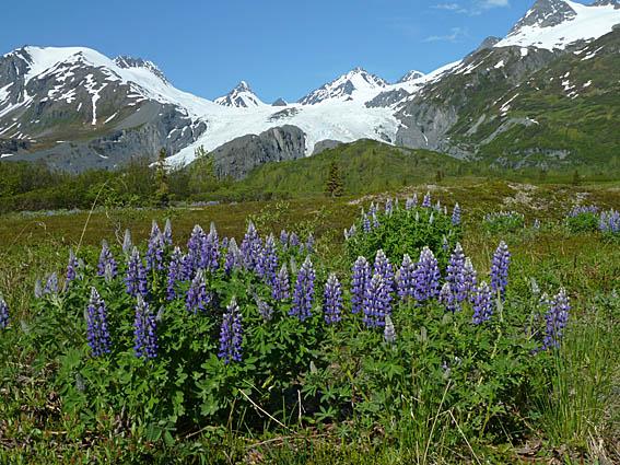 Blommande lupiner. Valdez