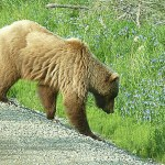 Grizzlybjörn. Denali National Park