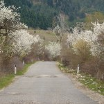 Blommande träd. Korca