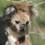 Koala. Phillip Island