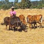 Tröskning av ris. Mrak-U