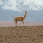 Vicuna i Atacamaöknen