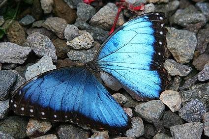 Blue Morpho. La Fortuna