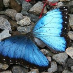 Blue Morpho. La Fortuna