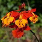 Orkidéer. Santa Helena