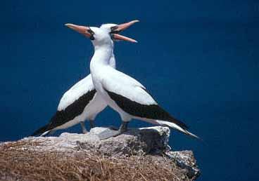 Maskerad havssula. Isla de La Plata