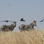 Zebror. Nechisar National Park