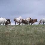 Shetlandshästar. Unst
