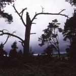 Kaledonisk trollskog. Drumnadrochit