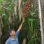 Palmnötter